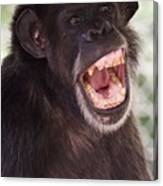 Chimp With Mouth Open Canvas Print