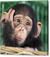Chimpanzee Face Canvas Print