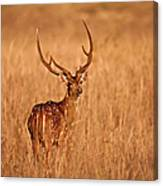 Chital - Kanha Tiger Reserve Canvas Print