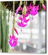 Christmas Cactus In Razzle Dazzle Pink Canvas Print