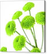Chrysanthemum Flowers Canvas Print