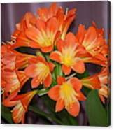 Clivia Blossoms Canvas Print