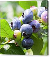 Close-up Of Blueberry Plant And Berries Canvas Print
