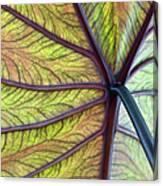 Close Up Of Colocasia Esculenta Leaf Canvas Print