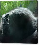 Close-up Of Frowning Adult Mountain Gorilla Canvas Print