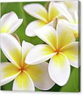 Close Up Of White And Yellow Plumeria Canvas Print