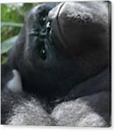 Close-up Shot Of Silverback Gorilla Making An Angry Face Canvas Print