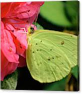 Cloudless Sulphur Canvas Print