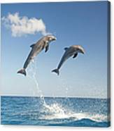Common Bottlenose Dolphins Tursiops Canvas Print