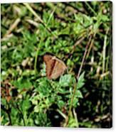 Common Buckeye Butterfly Canvas Print