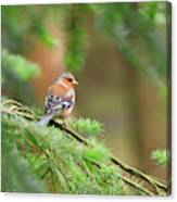 Common Chaffinch Fringilla Coelebs Canvas Print