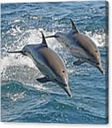 Common Dolphins Leaping Canvas Print