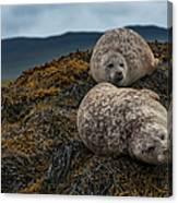 Common Seals, Loch Dunvegan, Isle Of Canvas Print