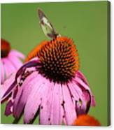 Cone Flower Butterfly At Rest Canvas Print