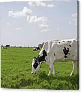 Cow Eating Grass On Farm Land Canvas Print
