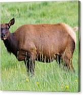 Cow Elk Grazing Canvas Print