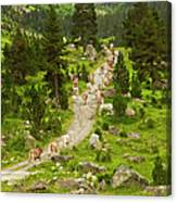 Cows Walking In Catalan Pyrenees Canvas Print