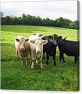 Cows Walking In Grassy Field Canvas Print