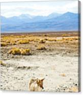 Coyote, Death Valley National Park Canvas Print