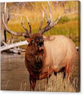Creekside Bull Canvas Print
