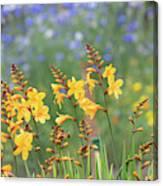 Crocosmia Buttercup Flowers Canvas Print