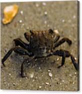 Curious Crab Canvas Print