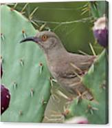 Curve-billed Thrasher, Cochise County Arizona Canvas Print