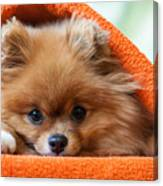 Cute And Funny Puppy Pomeranian Smiling Canvas Print