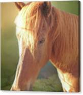 Cute Chestnut Pony Canvas Print