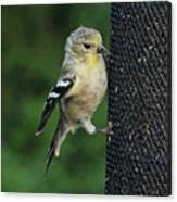 Cute Goldfinch At Feeder Canvas Print