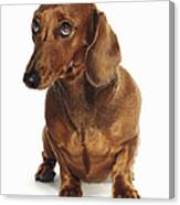 Dachshund Looking Up Canvas Print