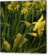 Daffodil Starlight Canvas Print