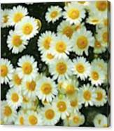 Daisy Crazy For You Canvas Print