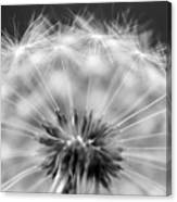 Dandelion Seeds Pod Macro Canvas Print