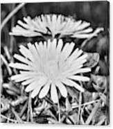 Dandelion Up Close And Personal Black And White Canvas Print