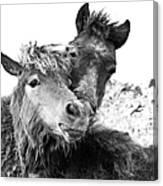 Dartmoor Ponies Canvas Print
