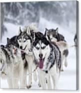 Dog-sledding With Huskies Canvas Print