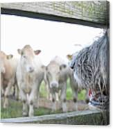 Dog Watching Cows Through Fence Canvas Print