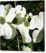 Dogwood V 2019 Canvas Print