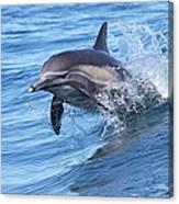 Dolphin Riding Wake Canvas Print