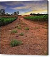Domaine Vineyards Canvas Print