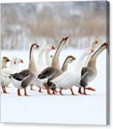 Domestic Geese Outdoor In Winter Canvas Print