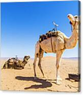 Draa Valley, Camel At Tinfou Canvas Print
