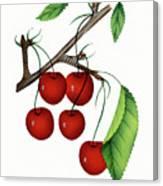 Early Richmond Cherries Canvas Print