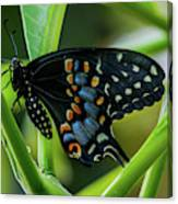 Eastern Black Swallowtail - Closed Wings Canvas Print