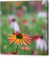 Echinacea Orange Passion Flowering Canvas Print