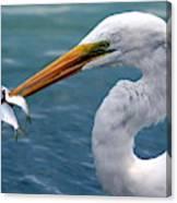 Egret Feeding  Canvas Print