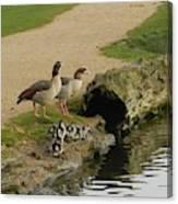 Egyptian Geese Canvas Print