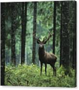 Elk In Forest Canvas Print