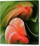 Emerging Tulips Canvas Print